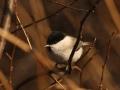 Sootihane, Parus palustris, Marsh Tit