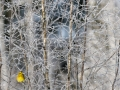 Talvike, Emberiza citrinella, Yellowhammer