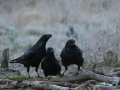 Ronk, Corvus corax, Raven