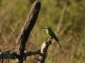 Mesilasenäpp, Merops apiaster, Bee-eater