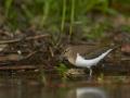 Vihitaja e. jõgitilder,  Actitis hypoleucos, Common Sandpiper