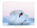 Kühmnokk-luik, Cygnus olor, Mute Swan