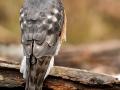Raudkull, Accipiter nisus, Sparrowhawk