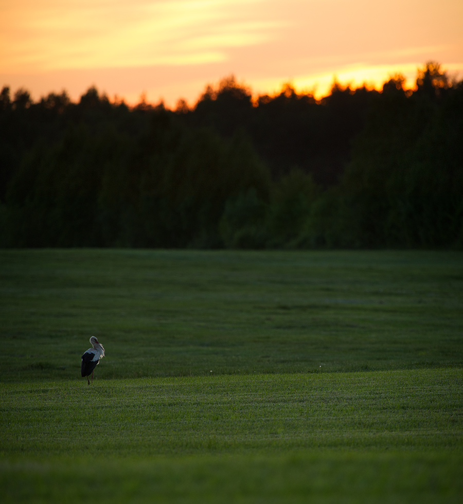 Valge-toonekurg, Ciconia ciconia, White Stork