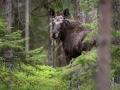 Põder, Alces alces, Moose