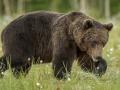 Pruunkaru, Ursus arctos, Brown Bear