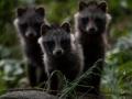 Kährikkoer, Nyctereutes procyonoides, Raccoon dog