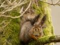 Orav, Sciurus vulgaris, Red squirrel