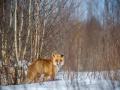 Rebane, Vulpes vulpes, Red Fox