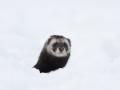 Tõhk, Mustela putorius, European Polecat